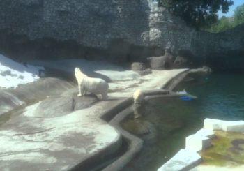 Онлайн веб камера в Московском зоопарке - белые медведи
