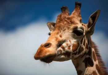 Онлайн веб камера в Московском зоопарке - жираф и страус